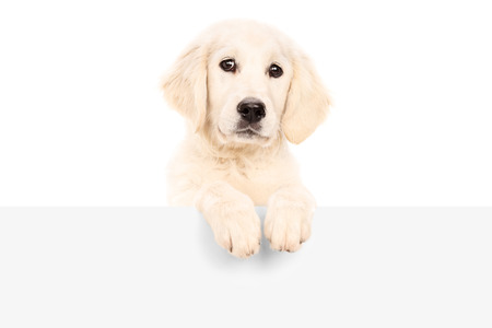 Studio shot of a cute puppy standing behind blank panel isolated photo