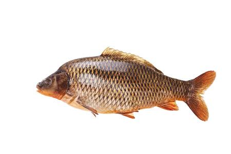 Large specimen of raw common carp isolated on white background photo