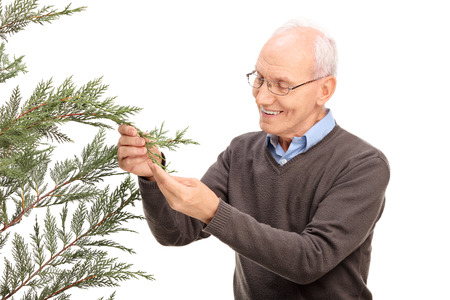 admire: Studio shot of a cheerful senior man looking at the branches of a coniferous tree and smiling isolated on white background