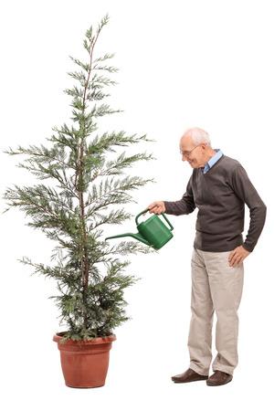 regar las plantas: Perfil de cuerpo entero foto de un alto ocasional regar un árbol de coníferas en una olla aisladas sobre fondo blanco