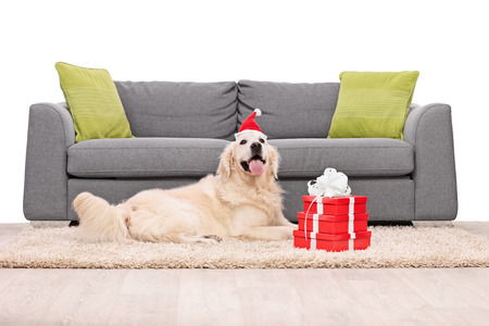 sofa: Golden Retriever dog lying on a carpet in front of a gray sofa with a few Christmas presents next to it isolated on white background