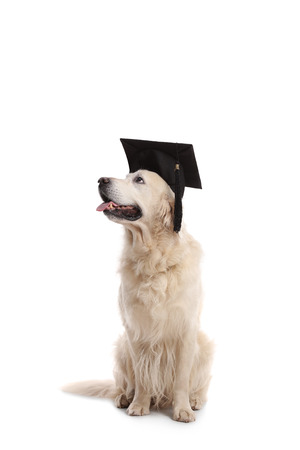 Labrador retriever dog wearing a graduation hat isolated on white background