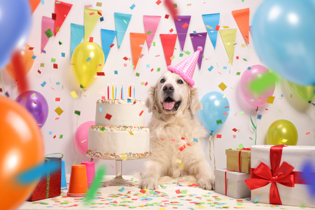 Labrador retriever dog with a birthday cake and a party hat 版權商用圖片