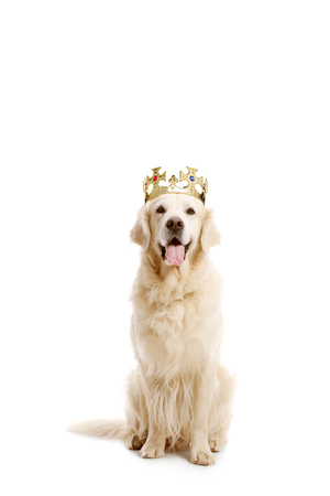 Labrador retriever dog with a crown isolated on white background