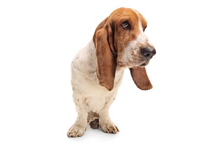 Basset hound dog isolated on white background