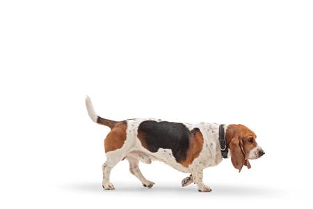 Profile shot of a basset hound dog walking isolated on white background