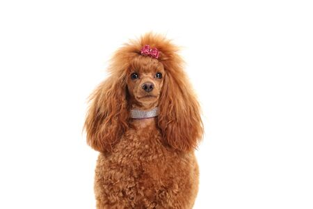 Fancy red poodle dog with a diamond collar isolated on white background