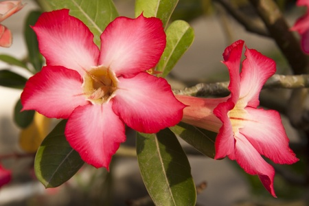 Impala Lily Adenium Thai people believe that ancient. Adenium into any home grown, home to cause Adenium Adenium favorite because wood is also auspicious sign and cause stack fishing towns to attract the eyes of my heart suck extremely attractive. photo