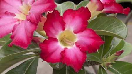 glowering: Impala Lily Adenium Thai people believe that ancient. Adenium into any home grown, home to cause Adenium Adenium favorite because wood is also auspicious sign and cause stack fishing towns to attract the eyes of my heart suck extremely attractive. Stock Photo