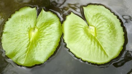 lotus leaf: lotus leaf in water