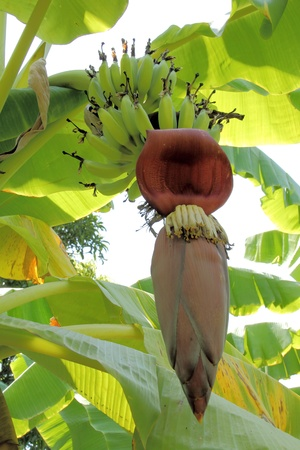 Banana on tree photo