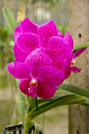 orchid house: vanda orchid