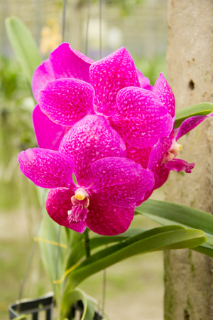 vanda: Vanda coerulea orchids , Genus is Vanda