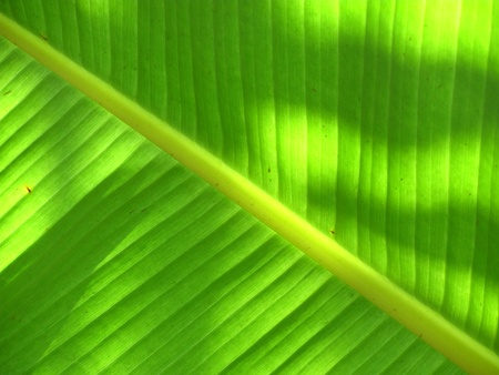 Image of banana leaf as background and texture photo