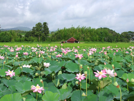 Field of Japanese lotus flowers with an old barn in the distance photo