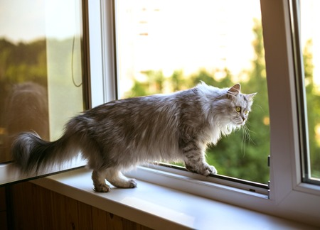 living idyll: Persian cat relax on the windowsill. Summer weather ousite a window
