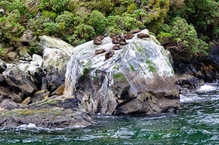 Fur seal colony resting on a rock in the Milford Sound on the South Island of New Zealand