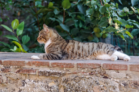 A domestic cat enjoys some cool in the heat of the afternoon on a stone wall in Montepulciano, Tuscany, Italy