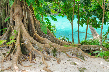 Giant roots at the Blue Lagoon - Efate Island, Vanuatu