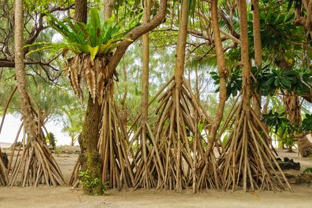 Birds nest fern and prop roots of pandanus palms - Efate Island, Vanuatu