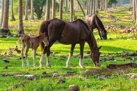 Grazing mares and a foul among coconut trees - Espiritu Santo, Vanuatu