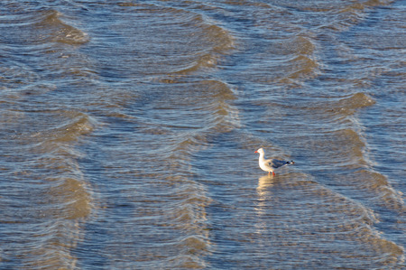 Seagull in the shallow but choppy water at the pier of Kingston SE - SA, Australia Stock Photo