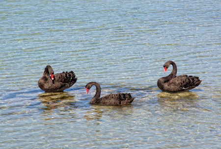 Black swans in the shallow water between Griffiths Island and the mainland - Port Fairy, Victoria, Australia 版權商用圖片