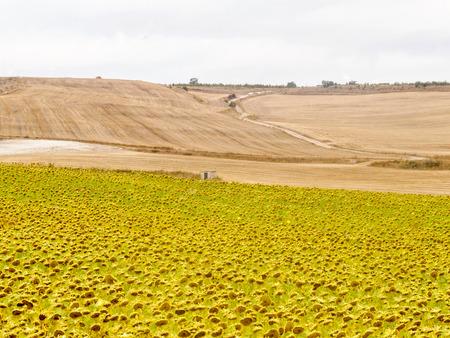 Sunflower field - Rabe de las Calzadas, Castile and Leon, Spain