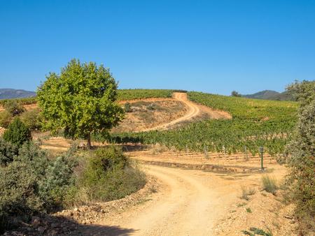 Dirt road trough vineyards in the wine country - Villafranca del Bierzo, Castile and Leon, Spain