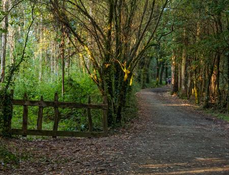 Camino pilgrims walk through an eucalyptus forest - San Anton, Galicia, Spain