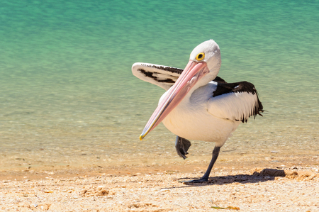 Australian pelican standing on one leg - Monkey Mia, WA, Australia