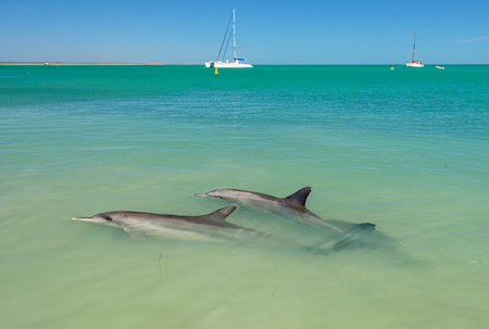 Dolphins in the shallow water of the beach - Monkey Mia, WA, Australia