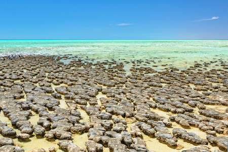 Stromatolites are rock-like structures formed by bacteria in shallow water - Hamelin Pool, Denham, WA, Australia