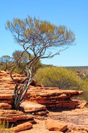A shrub surviving in an inhospitable environment - Kalbarri, WA, Australia 写真素材