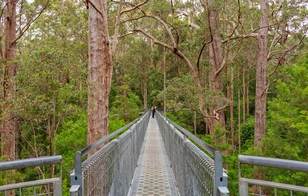 Walking through the canopies of magnificent tingle trees 40 metres above the ground in Valley of the Giants - Walpole, WA, Australia
