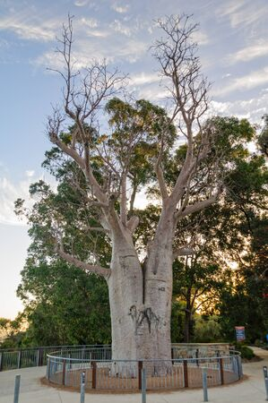 The giant boab tree in Kings Park and Botanic Garden is more than 750 years old - Perth, WA, Australia Stok Fotoğraf