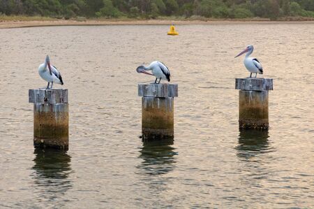 Pelicans on stumps in the Cunninghame Arm of Gippsland Lakes - Lakes Entrance, Victoria, Australia 免版税图像 - 131593077