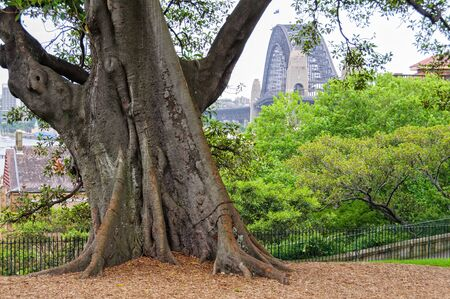 Trunk of a Moreton Bay Fig tree in the Observatory Hill Park - Sydney, NSW, Australia
