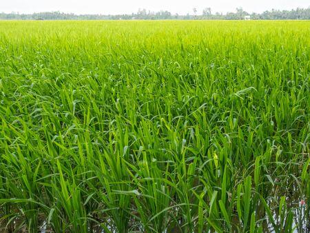 Lush green rice paddock in the Mekong River Delta - Tra Vinh, Vietnam