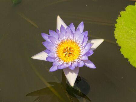 Water lily flower - Tra Vinh, Vietnam