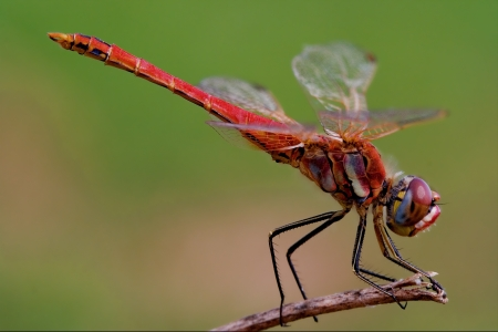 a red dragonfly Stock Photo - 15119671