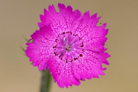 five petals: colse up of a ciclamin
