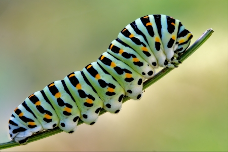 macaone: a Papilionidae in a green tree of wild fennel Stock Photo