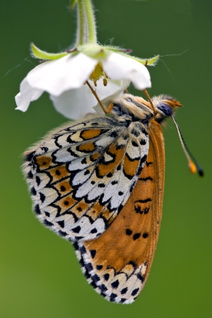 macaone: a brown butterly in a white flower up down