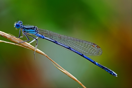 Dragonfly: a little blue Coenagrionidae dragonfly Stock Photo