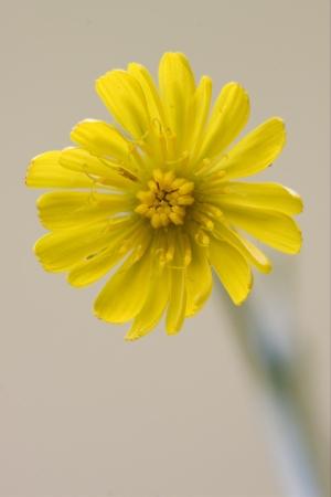 hieracium: yellow Hieracium Sylvaticum in the brown