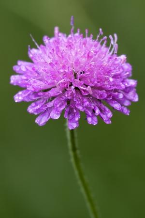 mentha: violeta flores labiadas dispsacacea Mentha aquatica scabioso