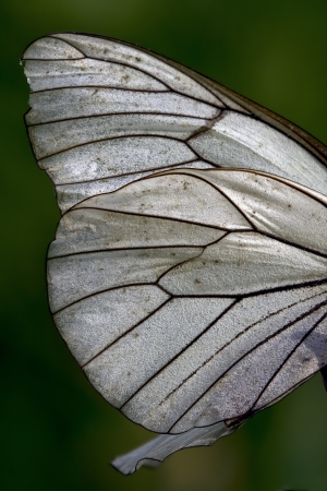 white butterfly: white wing of a  butterfly and his line