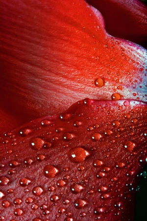 black rose: red texture of a flower  petal rose and drops Stock Photo
