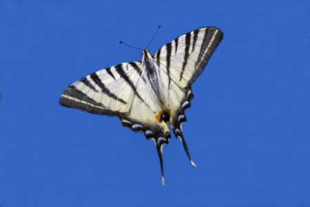macaone: wild  Papilio Macaone  flying in the blue sky
